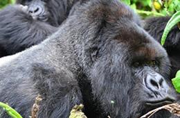 silver back gorilla trekking