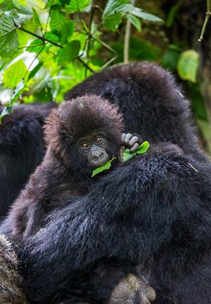 bwindi gorilla trekking
