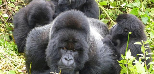 silverback gorilla trekking rwanda